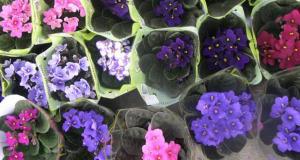 violete deParma